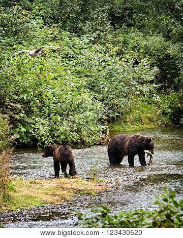 Two grizzly bears ( Ursus arctos horribilis) fishing for salmon in a shallow river in Alaska