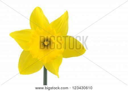 Single yellow daffodil flower isolated on white.