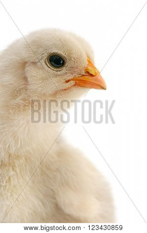beautiful chicken isolated on white