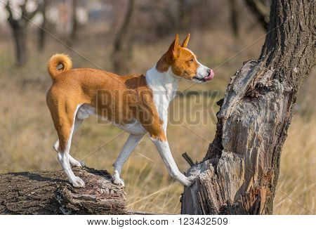 Graceful basenji dog exploring it's favorite outdoors place standing on a tree branch and looking into a distance