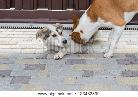 Outdoor alone - basenji dog is trying to pull in its stray friend under garden gate for to have fun together