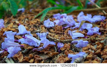purple jacaranda flowers on fall in thailand