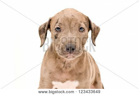 Portrait of a adorable pitbull puppy isolated on a white background