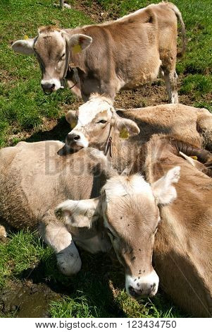 Group of calves on the Swiss alps