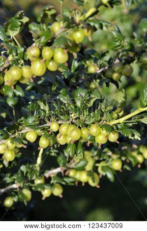 Ripe culinary European Gooseberry fruits on a bush. Soft fruit variety Invictor scientific name Ribes Uva-crispa.