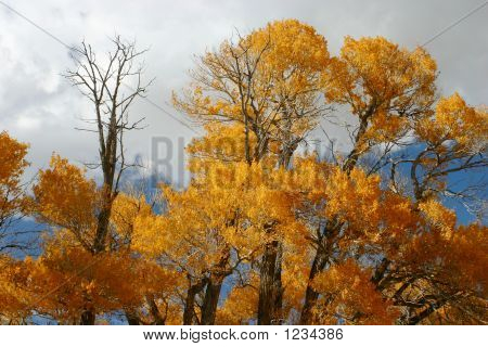 Cottonwood Top Autumn