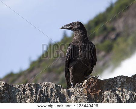 The close view of a crow in Mendenhall Glacier park (Juneau Alaska).
