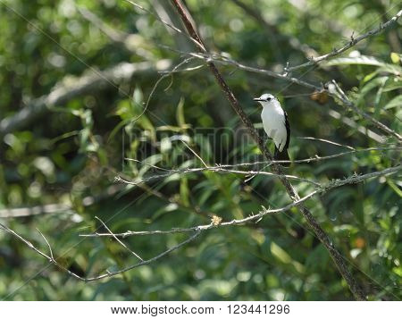 The white monjita (Xolmis irupero) a member of the flycatcher family seen in the Ibera Wetland area of Argentina.