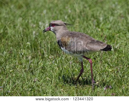 The southern lapwing (Vanellus chilensis) seen in the Ibera Wetland area of Argetina