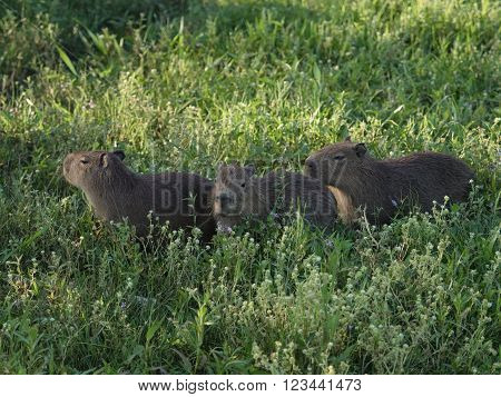 The capybara (Hydrochoerus hydrochaeris) seen wild in the Ibera Wetland area of Argentina