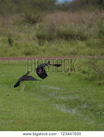 The sharp-tailed ibis (Cercibis oxycerca) seen in Ibera Wetland Argentina