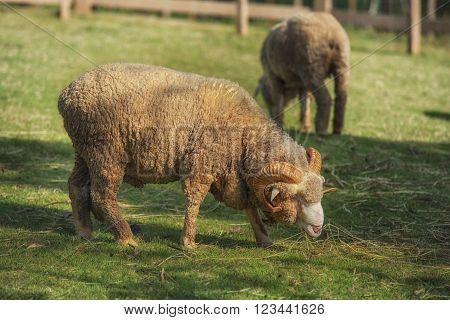 full body of male merino sheep feeding green grass in ranch livestock animals farm