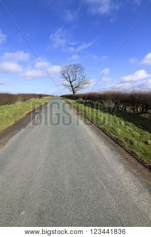 a lone tree in winter with a small country road and hawthorn hedgerows