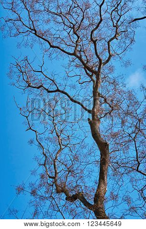 Bare Tree at Spting against the Blue Sky