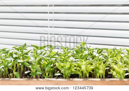 Seedling of pepper on the window sill. Seedlings grows in the box for planting in the garden.