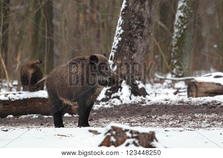 Beautiful portrait of a wild boar on a background of the winter forest