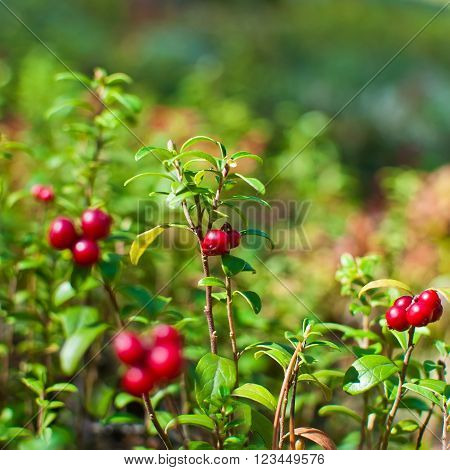 Wild berry cranberries growing in forest. Vaccinium vitis-idaea ** Note: Shallow depth of field