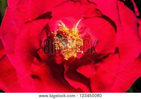 Red rose petals and stamens and bee feading inside it