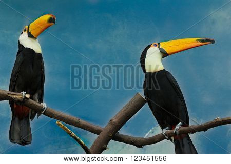 Couple of toco toucans are sitting on dry tree branch