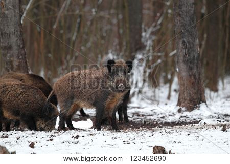 Several boars standing on the snow in the forest