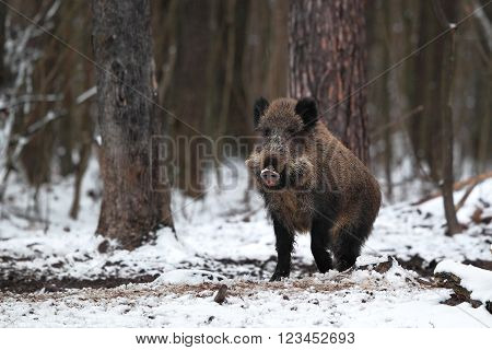 Wild boar out of the winter forest