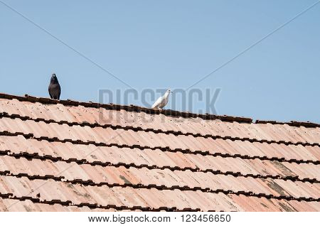 grey and white pigeons walking in opposite directions on old roof of one house
