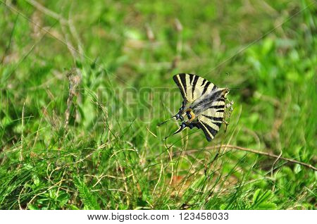 Giant Swallowtail Butterfly on the green grass