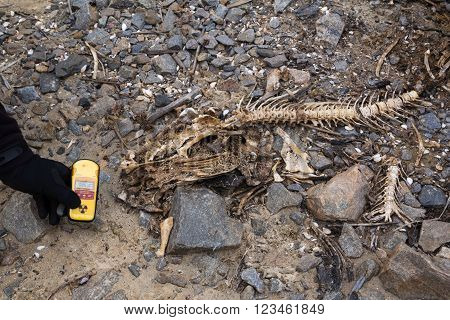 Fishbones and dosimeter near Chernobyl power plant