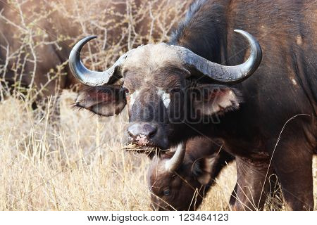 Old buffalo staring into camera as he grazes (close up) in the Kruger National Park, South Africa. (African buffalo / Cape buffalo) ** Note: Soft Focus at 100%, best at smaller sizes