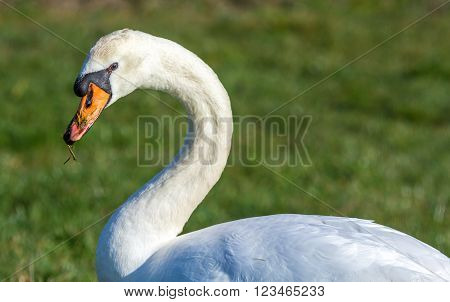 a mute swan with grass on its bill
