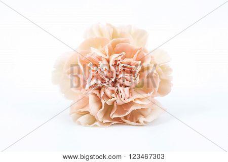 Carnation Lege Marrone isolated on white background
