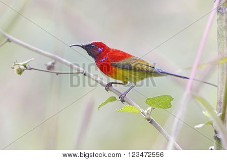 Mrs Gould's sunbird Aethopyga gouldiae Male Birds of Thailand