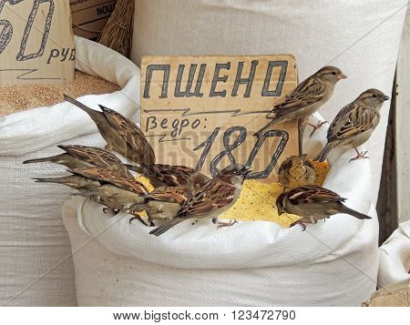 Flock of House sparrows (Passer domesticus) pecking at the grain out of the bag on the market