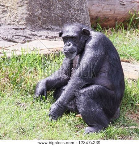Adult chimpanzee seated on grass in daytime sunshine