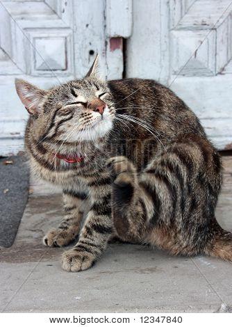 Lindo gato Europeu
