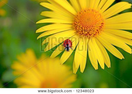 Small Ladybug Sleeping On Yellow Flower's Petals