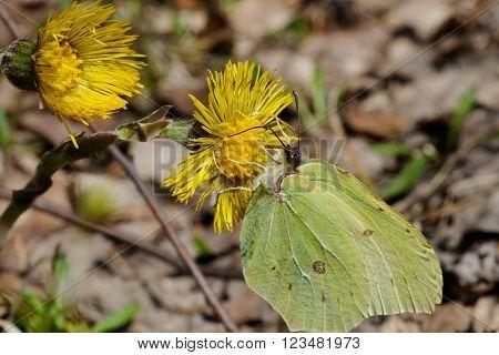 Brimstone butterfly is sitting on a foalfoot flower Puumala Finland