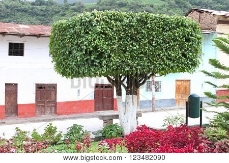 MAGDALENA, CAJAMARCA, PERU - March 28: Manicured ficus tree in central plaza of Magdalena, Peru on March 28, 2016