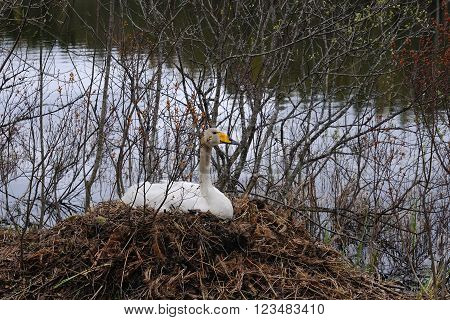 Whooper swan is sitting on a nest close to a small river Puumala Finland