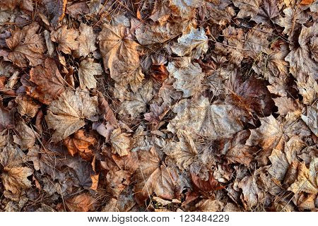 Old damaged dry maple leaves and pine needles on the ground, for the background.