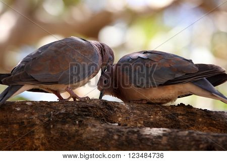 A pair of laughing doves (Spilopelia senegalensis).