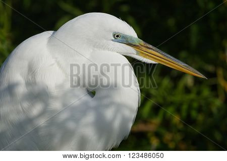Closeup Of A Great Egret In Breeding Plumage - Florida