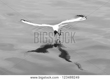 Black-headed gull (Chroicocephalus ridibundus) hovering over surface of water. Gull reflected in the Caspian Sea whilst hunting fish, in black and white