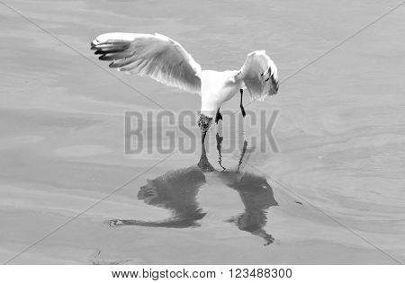 Juvenile black-headed gull (Chroicocephalus ridibundus) hovering with beak touching water. Gull reflected in the Caspian Sea whilst hunting fish, in black and white