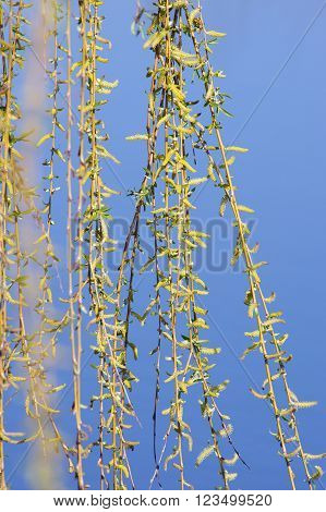 Weeping willow (Salix sepulcralis) suitable for healing as well.