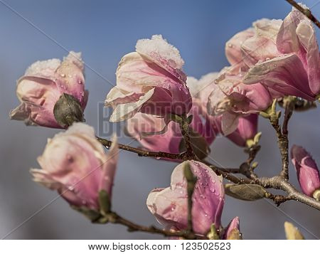 Magnolia soulangeanasaucer magnolia is a hybrid plant in the genus Magnolia and family Magnoliaceae with snow