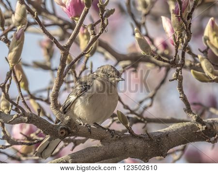 northern mockingbirdMimus polyglottos is the only mockingbird commonly found in North America