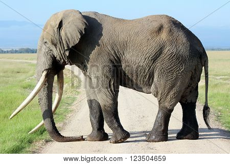 Picture of an African elephant in Amboseli Park in Kenya.