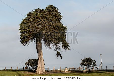 The last surviving Monterey Cypress tree at Ellen Browning Scripps Park in La Jolla, California.