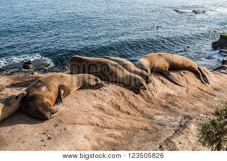 Five seals resting on a cliff at La Jolla Cove in La Jolla, California.
